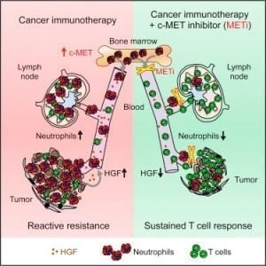 Novartis Phase II substance as promising anti-tumor combination therapy